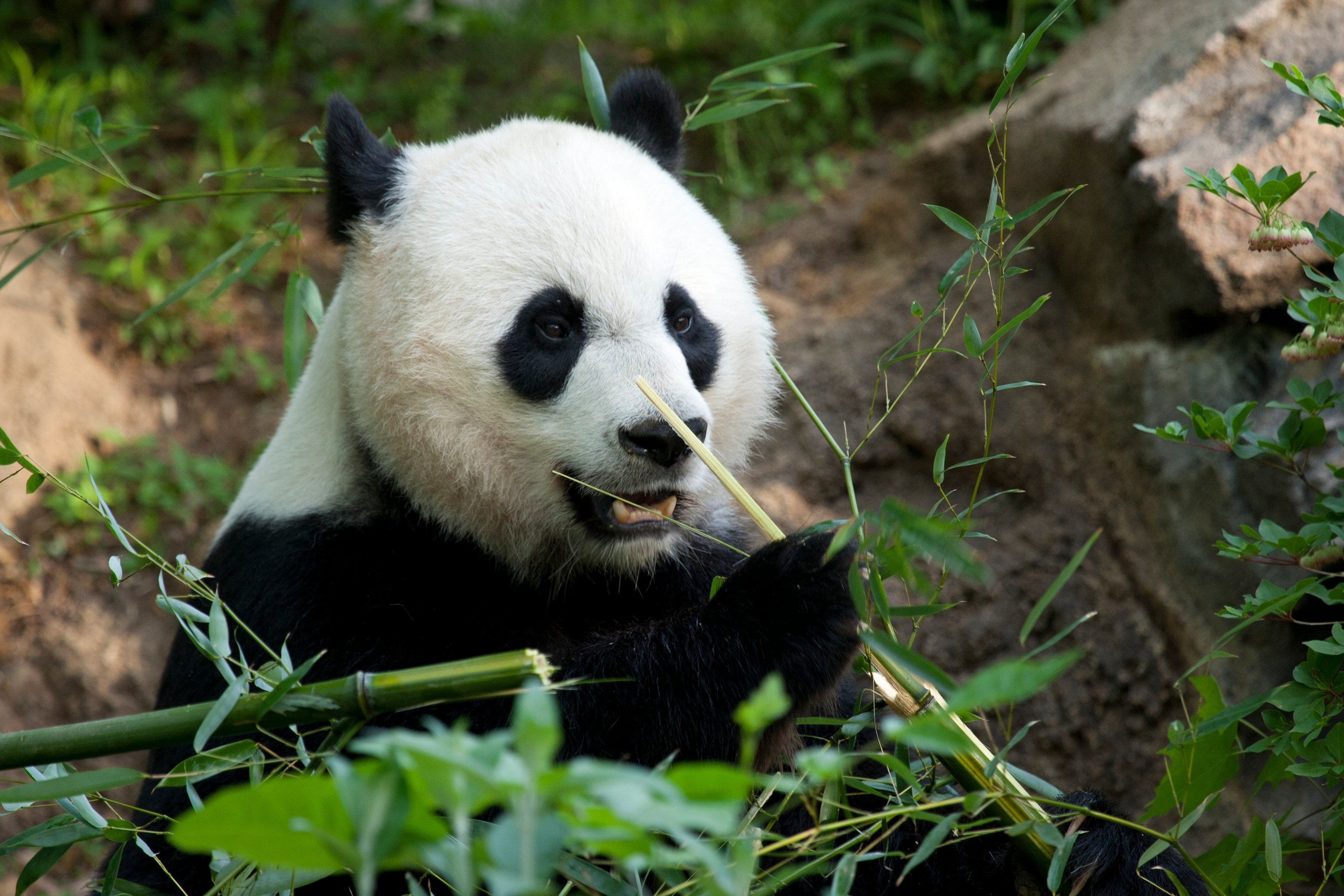 There Could Be A New Baby Panda In A Few Days Washingtonian Dc