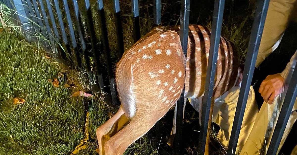 A Fawn Was Stuck in a Fence in Arlington. Two People Had to Pry the Bars Open to Rescue Her