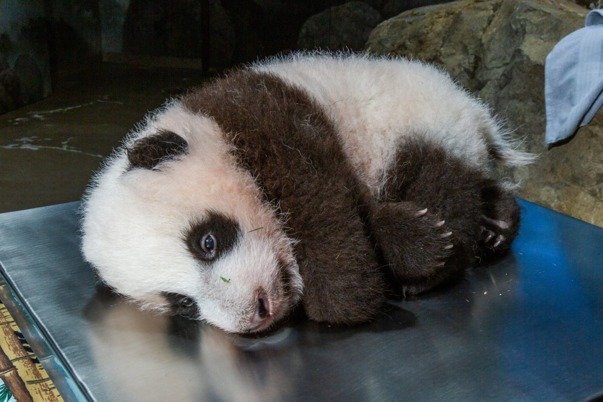 We've also been in the fetal position all week. Photo courtesy of Smithsonian National Zoo.