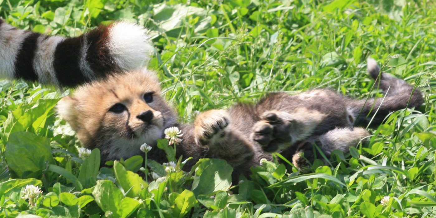 A cheetah cub in June 2020. Photograph courtesy of Smithsonian's National Zoo.