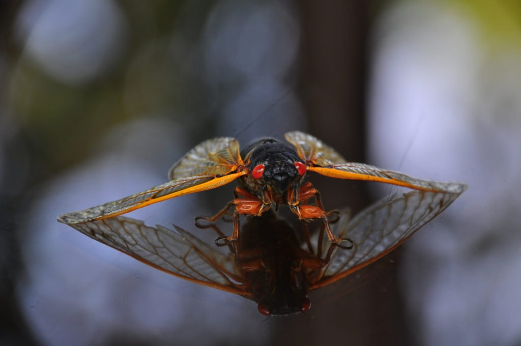 Apparently Brood X Cicadas Are Edible and Taste Like Shrimp