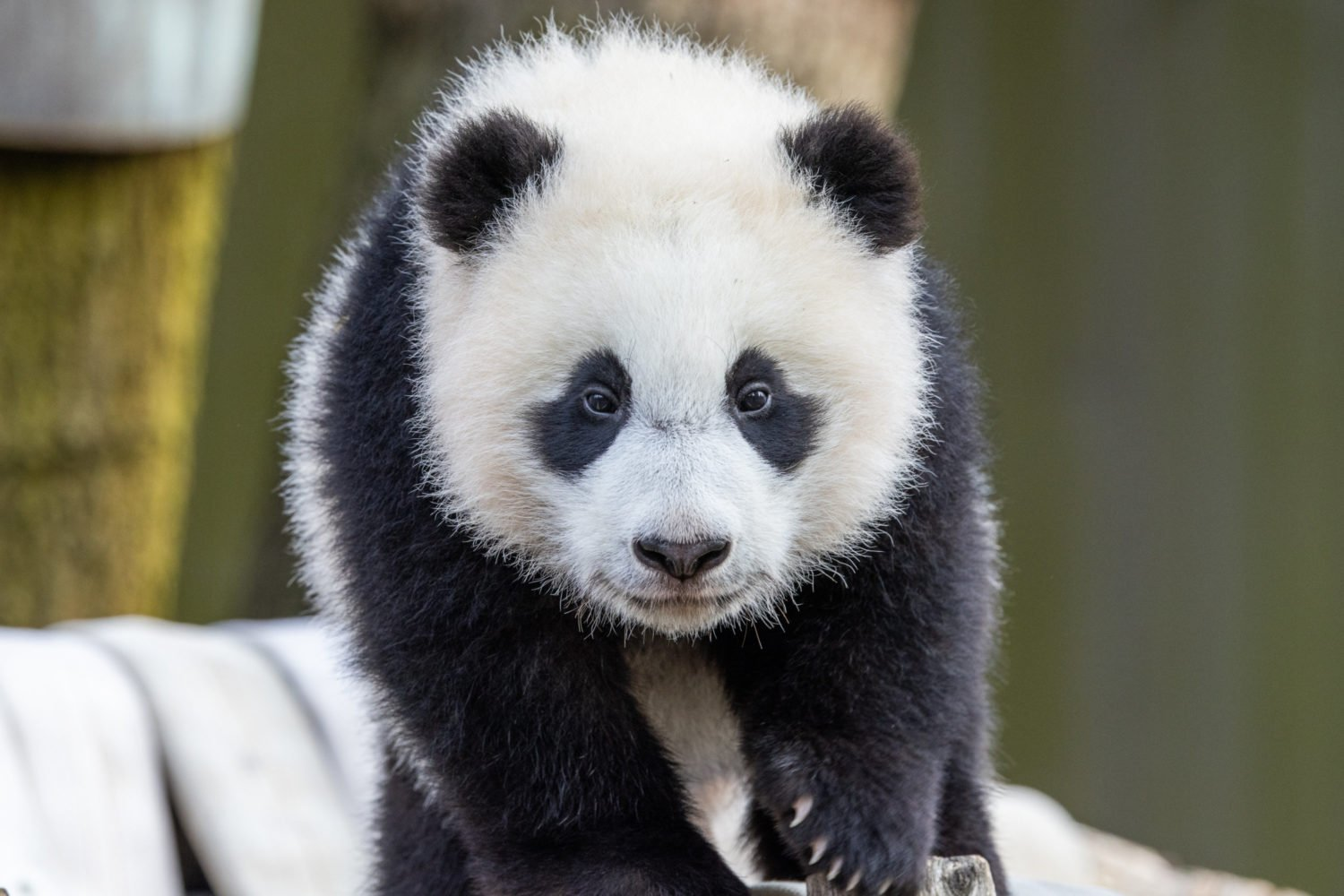 Visitors will soon be able to see baby panda Xiao Qi Ji at the zoo. Photo courtesy of Smithsonian's National Zoo.