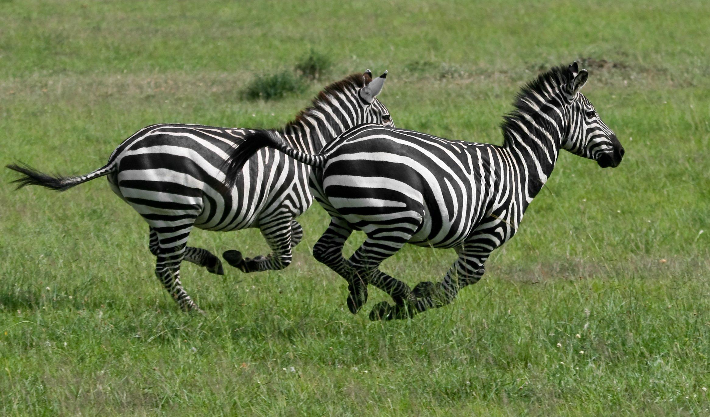 Eleanor Holmes Norton Zebras